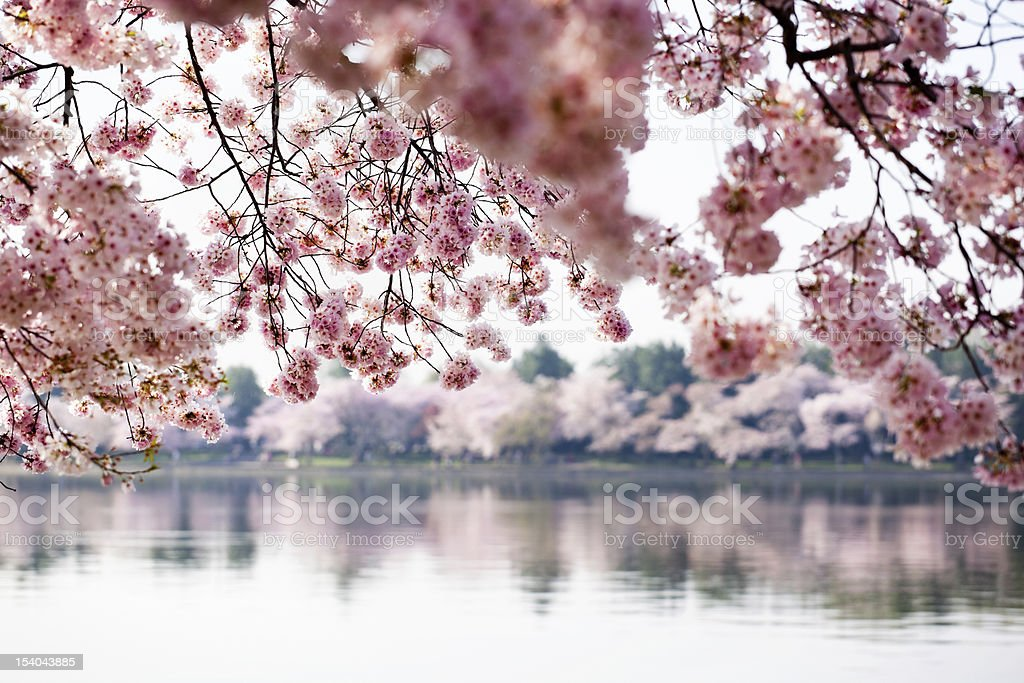 Cherry Blossoms on the Tidal Basin stock photo