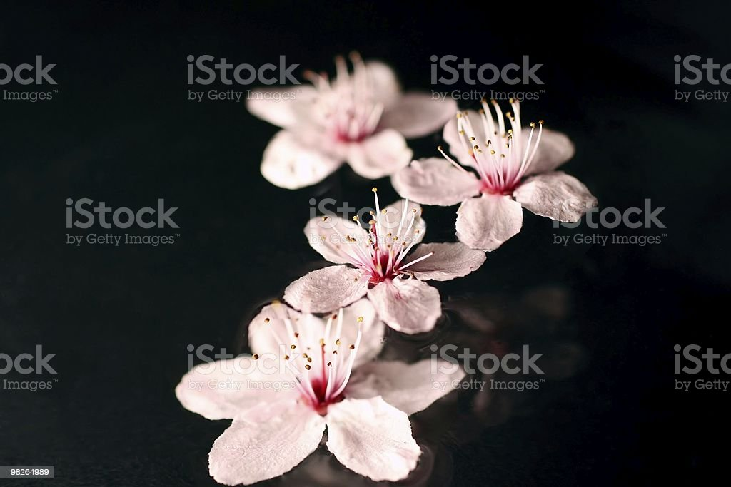 Cherry blossoms on water royalty-free stock photo
