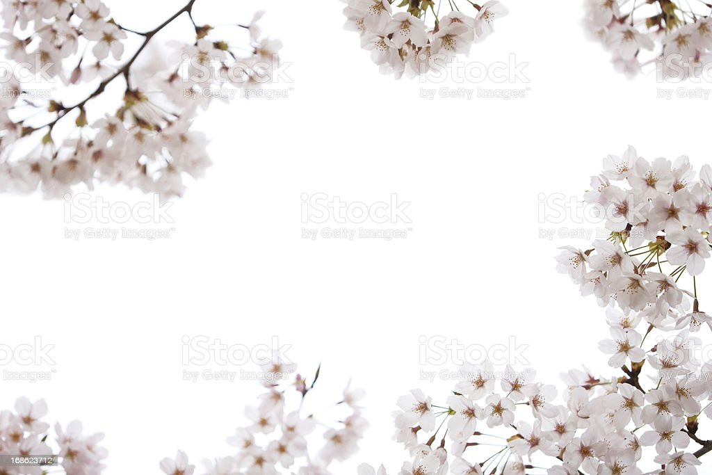 Cherry Blossoms on White stock photo