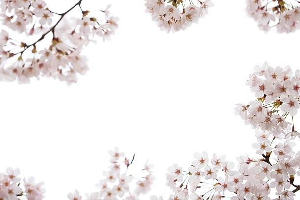 Cherry Blossoms on White stock photo