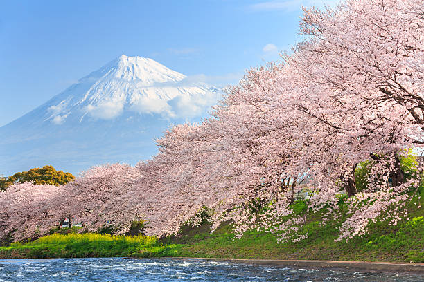 Cherry blossoms or Sakura and Mountain Fuji in background stock photo