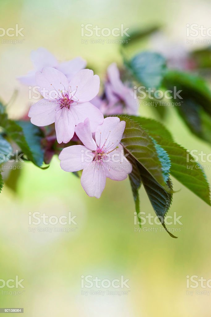 Cherry blossoms over blurred green background royalty-free stock photo