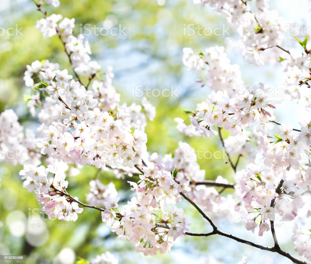 Cherry Blossoms Over Blurred Nature Background With Bokeh Spring