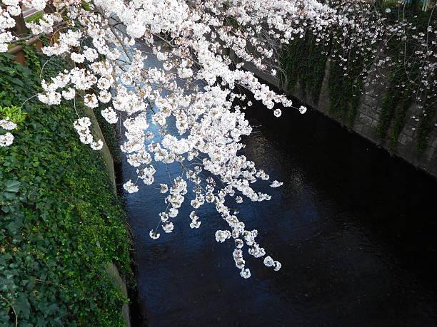 Kirsche Blüten auf den Fluss – Foto