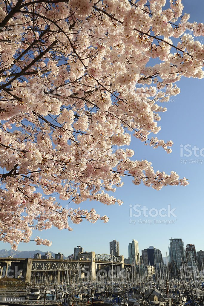 Cherry Blossoms over Vancouver royalty-free stock photo
