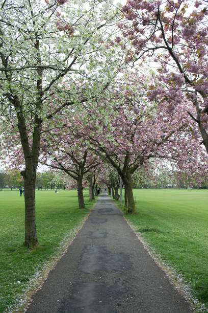 Cherry blossoms path. stock photo