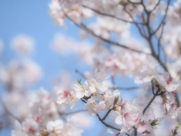 桜 - 大学受験 ストックフォトと画像