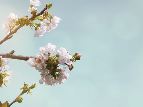 Cherry Blossoms Blurred Bokeh Background