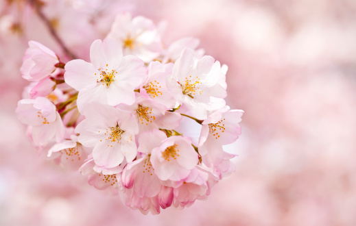Beautiful Pink And White Cherry Blossoms