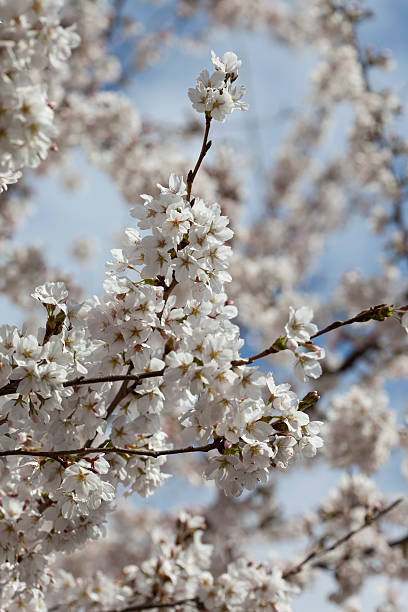 cherry blossoms - spring stock photos and pictures
