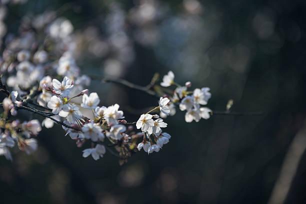 Cherry blossoms – Foto