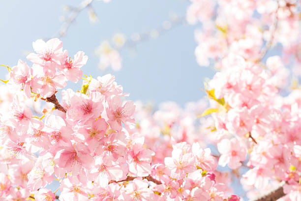 Cherry blossoms stock photo