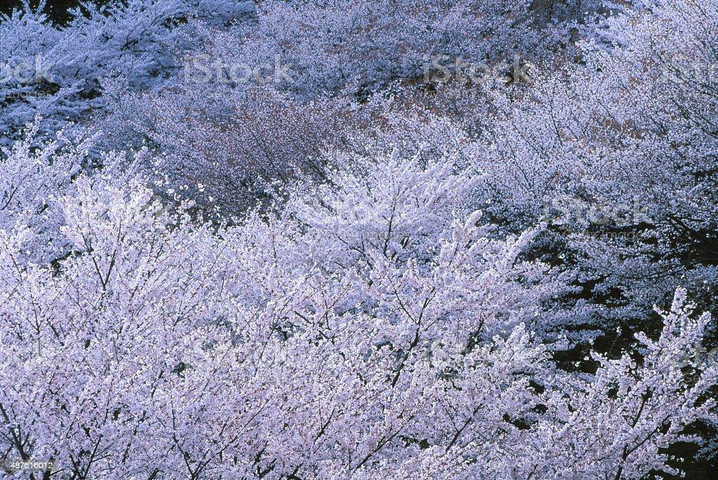 桜の花 ロイヤリティフリーストックフォト