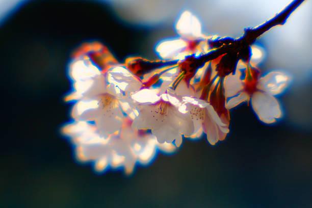 桜の花 ストックフォト