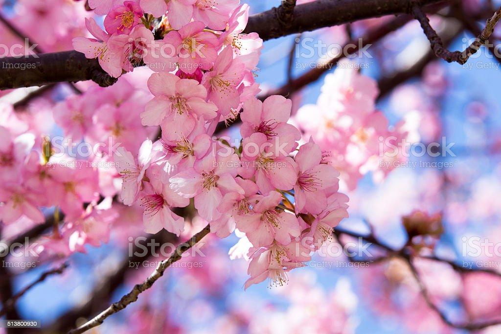 Cerezos en flor - foto de stock
