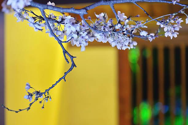 cherry blossoms - pflaumen wände stock-fotos und bilder