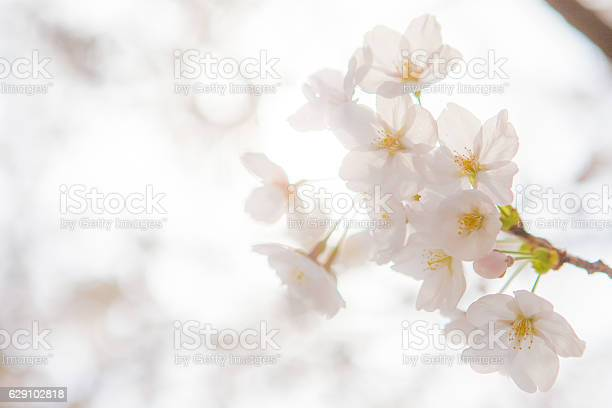 Cherry blossoms picture id629102818?b=1&k=6&m=629102818&s=612x612&h=ikudsj8qh usxysmg3hbw196cvghtmxs6hdxzelpgty=