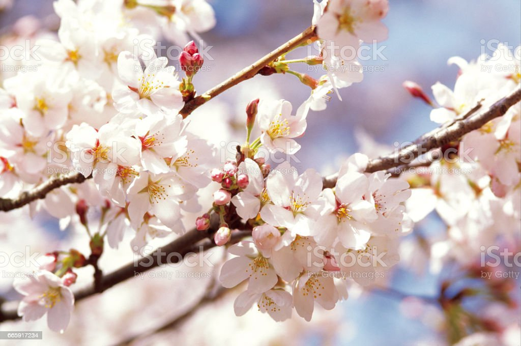 Cherry blossoms foto stock royalty-free