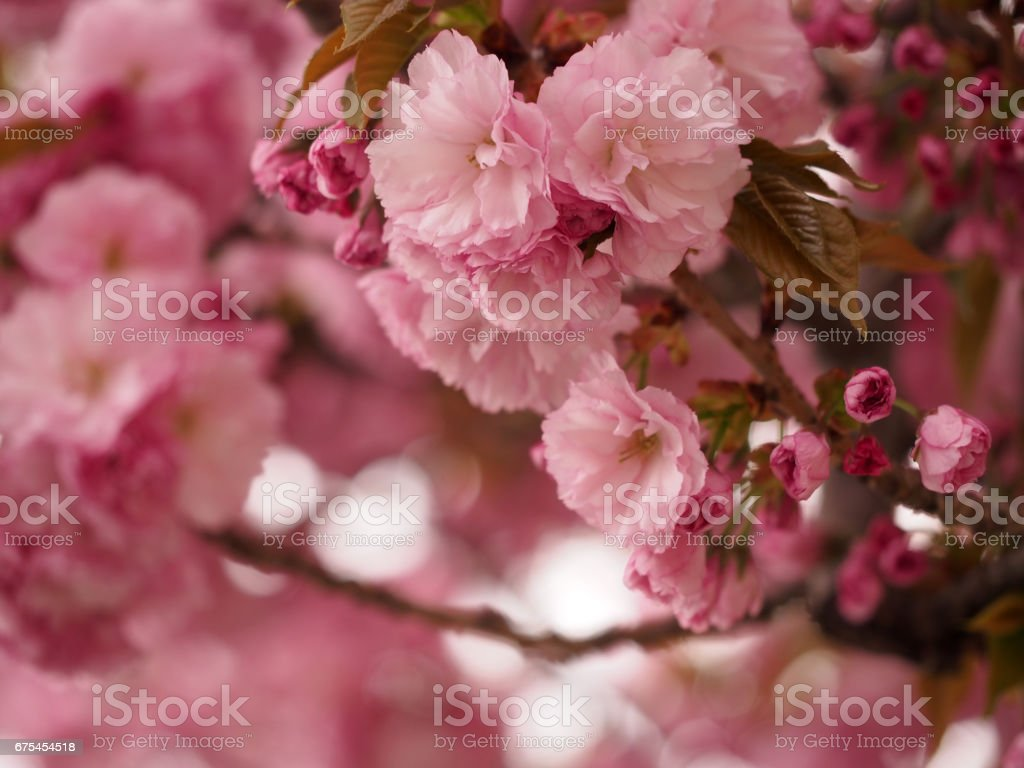 Cherry Blossoms photo libre de droits