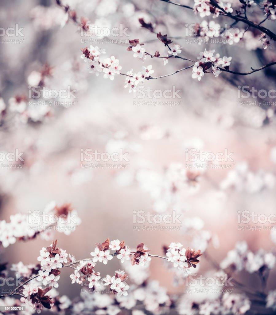 Cherry Blossoms stock photo