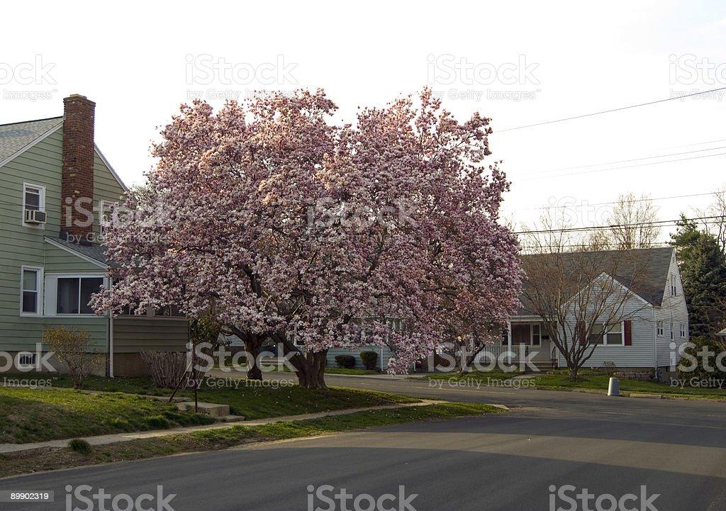 Cherry Blossoms Lizenzfreies stock-foto