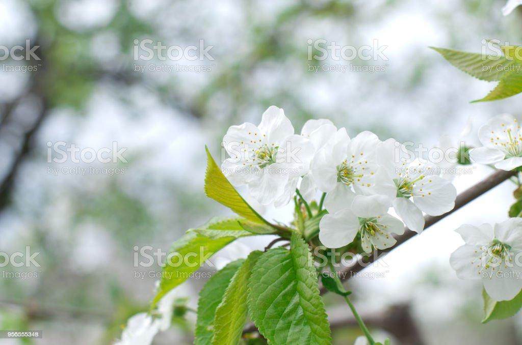 cherry blossoms  - Lizenzfrei April Stock-Foto