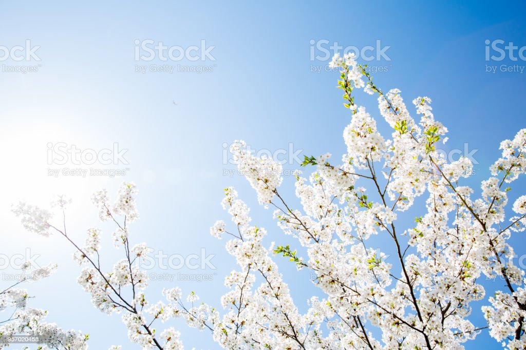 Cherry Blossoms  – Foto