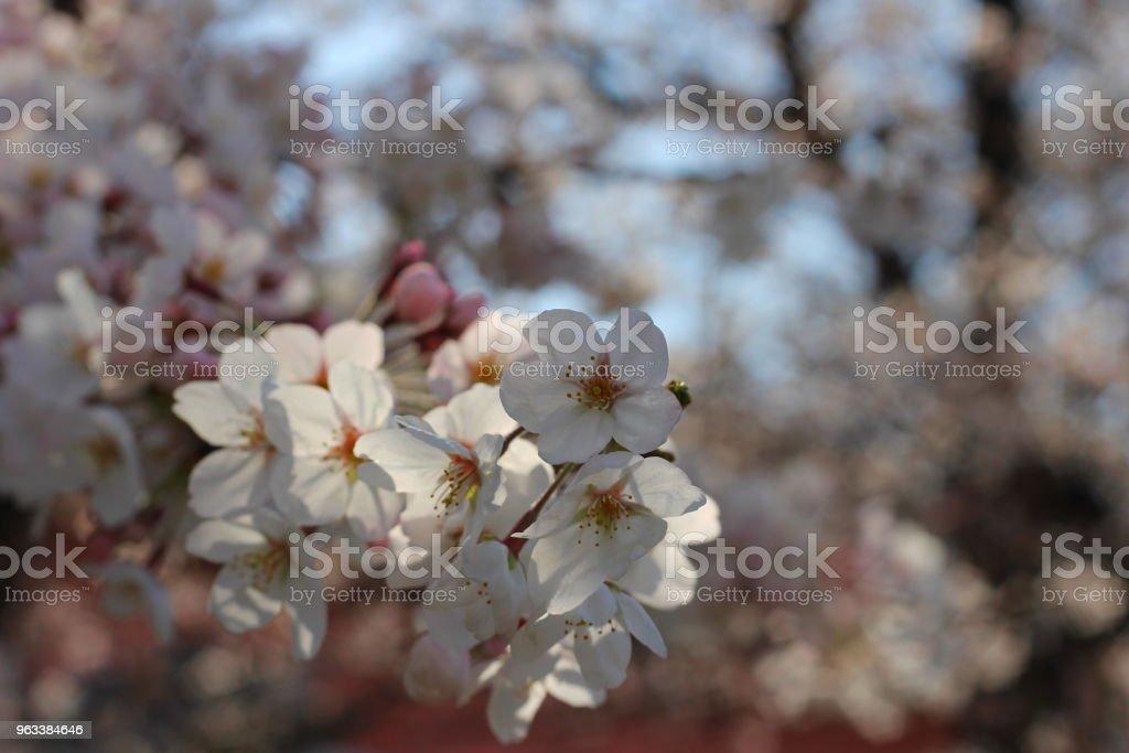 Cherry Blossoms - Zbiór zdjęć royalty-free (Bez ludzi)