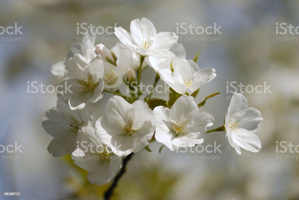 벚꽃 royalty-free 스톡 사진