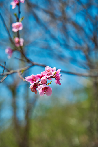 Cherry blossoms. Pink flowers on a tree branch.