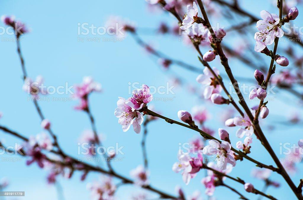 Fiori Di Ciliegio Rosa Sakura Fiori Su Sfondo Blu Cielo Fotografie
