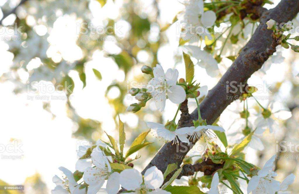 Kirschblüten überall herausspringen. – Foto