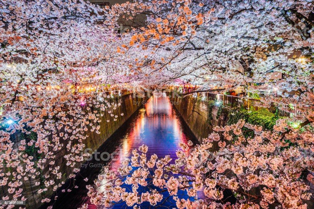 Cherry blossoms season in Tokyo, Japan stock photo
