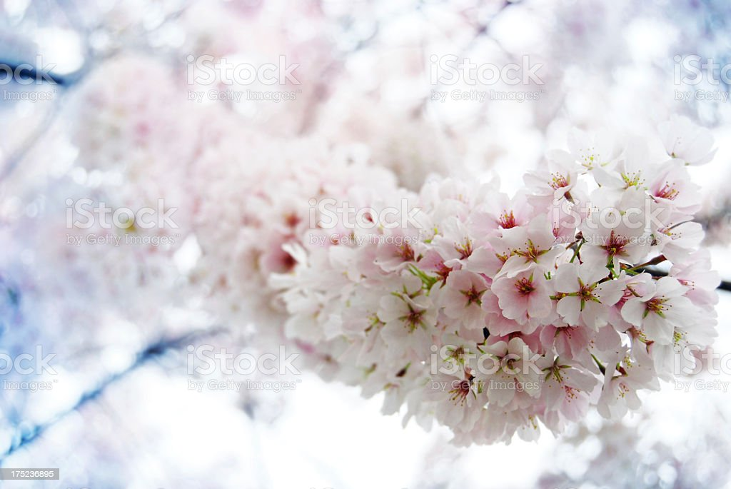 Cherry Blossoms, Shallow DOF royalty-free stock photo