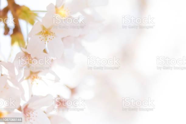 Cherry blossoms soft focus picture id1057065144?b=1&k=6&m=1057065144&s=612x612&h=yi71grwk8cv3q9vupbpzh52ougpcpkizb rnasb  0e=