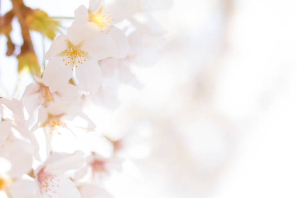cherry blossoms. soft focus. - soft focus stock photos and pictures