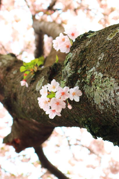 Cherry blossoms, spring flowers, flowers, roads, trees, blossoms, festivals stock photo
