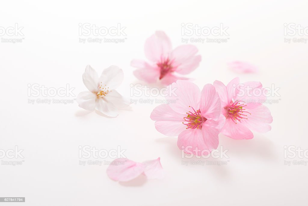 Cherry blossoms Spring image stock photo