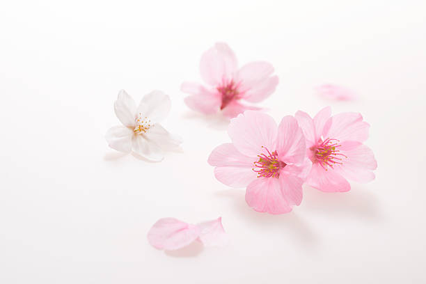 cherry blossoms spring image - blossom stock pictures, royalty-free photos & images