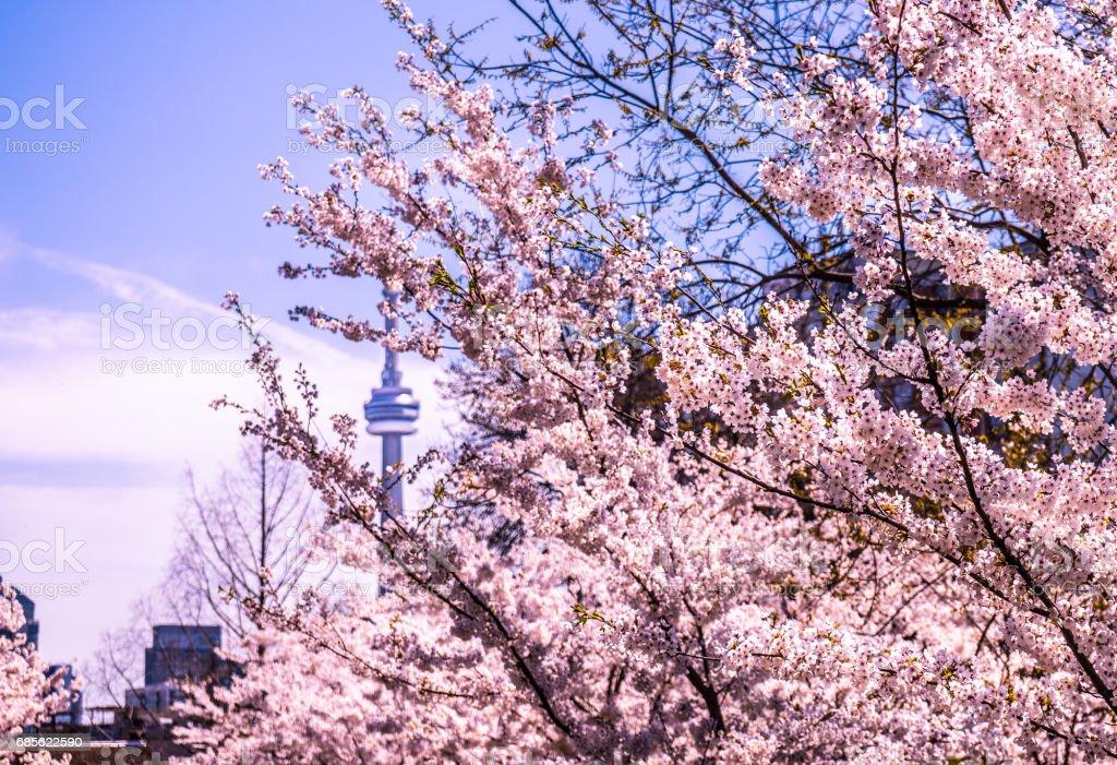Cherry blossoms Toronto skyline royalty-free stock photo