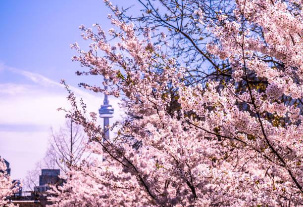 cherry blossoms toronto skyline - cherry blossoms imagens e fotografias de stock