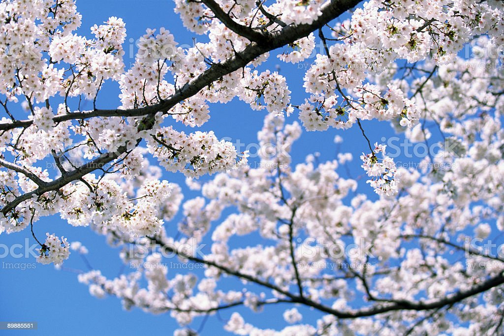 Cherry blossoms tree at beautiful day royalty-free stock photo