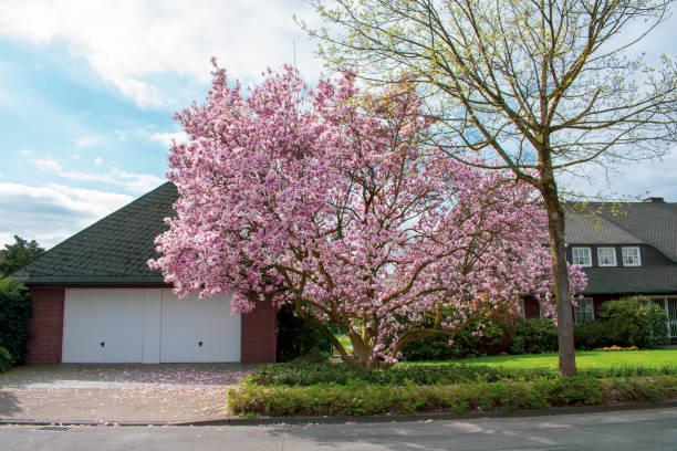 Kirschblütenbäume im Garten bei Sonnenschein – Foto