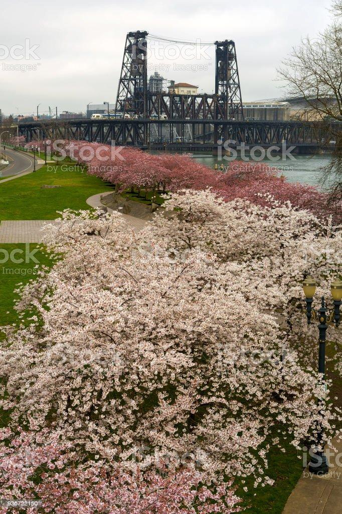 Cherry Blossoms Bäume Blumen in voller Blüte entlang downtown Portland OR Frühjahrssaison – Foto