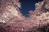 桜の月光の下
