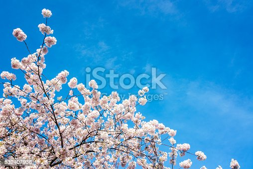 istock Cherry Blossoms View 532407936
