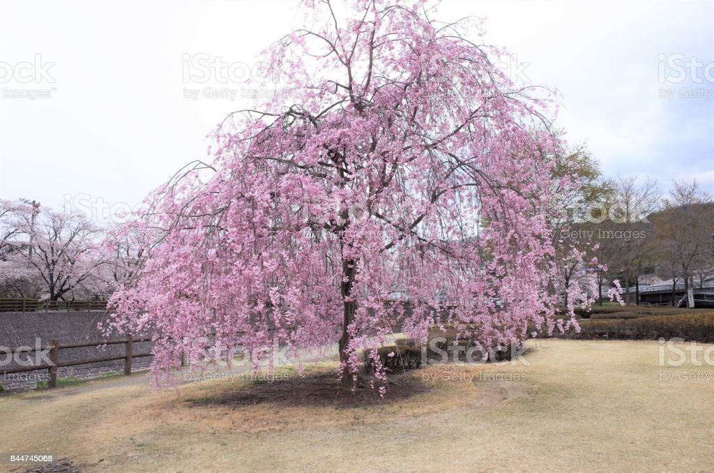 Cherry Blossoms Weeping Cherry Tree Shidaresakura Stock Photo More