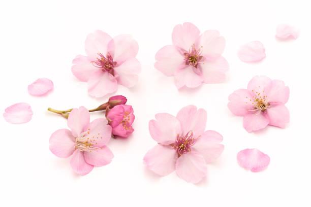 桜 白い背景 - 桜 ストックフォトと画像