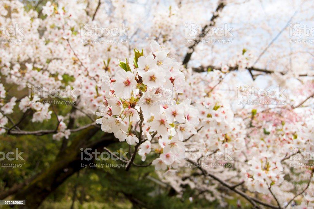 Kirschblüten mit Zweig – Foto