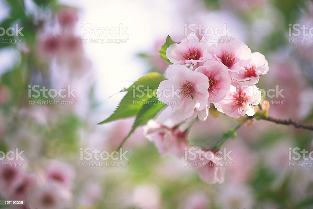 Cherry blossoms with leaves royalty-free stock photo
